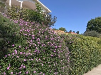 A wall full of purple flowers in LA.